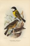 Pachycephala Pectoralis. (White-Throated Thickhead).