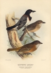 Alisterornis Lanioides. (White-Bellied Thickhead). Timixos Olivaceus. (Olive Thickhead).