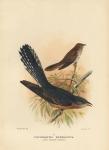 Cacomantis Rubricatus. (Fan-Tailed Cuckoo).