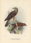 Cacomantis Pyrrophanus. (Square-Tailed Cuckoo).