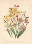 Wachendorfia Paniculata. Wachendorfia Brevifolia. Wachendorfia Herberti.  Pl 24.