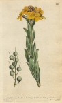 Alyssum Utriculatum. Bladder-Podded Alyssum.  No. 130