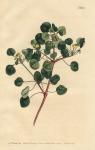 Euphorbia Petiolaris. Long-Stalked Spurge.  No. 883.