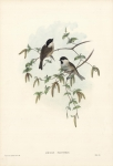 Poecile Palustris. [Marsh-Tit].