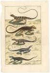 Untitled Lizards.  Tab. XCII.