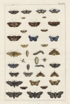 Untitled Butterflies.  Tab. XLVIII.