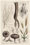 Untitled Botanicals.  Tab. II.