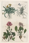 Untitled Botanicals.  Tab. XVIII. [Ficoide d'Afrique].