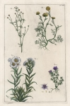 Untitled Botanicals.  Tab. XVI.