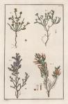 Untitled Botanicals.  Tab. XX. [Erica, Africana].