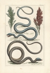 Untitled Snakes.  Tab. XLIV.
