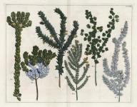 Untitled Botanicals.  Tab. XXIIII. [Geneftes d'Afrique].