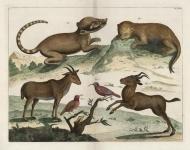 Untitled Mammels and Birds - Deer, lemur.  Tab. XLII.