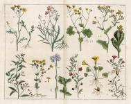 Untitled Botanicals.  Tab. XXII.