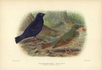 Ptilonorhynchus Violaceus (Satin Bower-Bird).