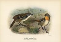 Orthonyx Maculatus (Spine-Tailed Log-Runner).