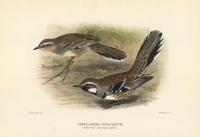 Cinclosoma Punctatum.  (Spotted Ground-Bird). [Spotted Ground Thrush].