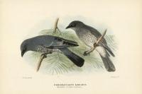 Paragraucalus Lineatus.  (Barred Cuckoo-Shrike).