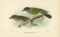 Sphecotheres Vieilloti (Fig Bird). [Figbird].