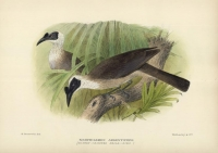 Neophilemon Argenticeps (Silvery-Crowned Friar-Bird). [Friarbird].