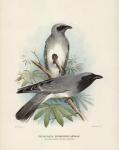 Graucalus Novaehollandiae.  (Black-Faced Cuckoo-Shrike).