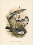 Graucalus Hypoleucus.  (White-Bellied Cuckoo-Shrike).