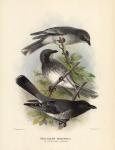 Graucalus Robustus.  (Little Cuckoo-Shrike).