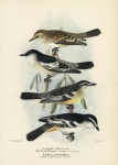 Lalage Tricolor.  (White-Shouldered Caterpiller-Eater).  Karua Leucomela.  (Pied Caterpillar-Eater).