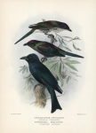Metallopsar Metallicus (Shinning Starling).  Notochibia Bracteata (Spangled Drongo).
