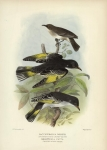 Lacustroica Whitei (Inconspicuouc Honey-Eater).  Grantiella Picta (Painted Honey-Eater).