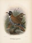 Histriophaps Histrionica.  (Flock-Pigeon).