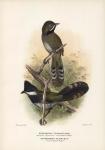 Psophodes Nigrogularis (Black-Throated Coachwhip-Bird).  Psophodes Olivaceus (Coachwhip-Bird).