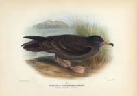 Puffinus Chlororhynchus.  (Wedge-Tailed Petrel).