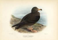Puffinus Carmeipes.  (Fleshy-Footed Petrel).