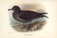 Puffinus Griseus.  (Sombre Petrel).