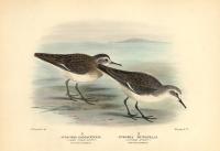 Pisobia Damacensis.  (Long-Toed Stint).  Winter Plumage.  PisobiaRuficollis.  (Little Stint).  Winter Plumage.