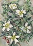 Rosa Laevigato. Cherokee Rose.