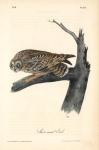 Short Eared Owl.  Pl. 38.