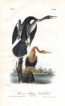 American Anhinga, Snake Bird.  Pl. 420.
