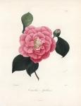 Camellia Apollina.  Pl. 164.