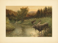 A Moose Hunt.