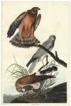 Marsh Hawk.  Plate 356.