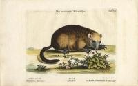 Das Americanische Murmeltier. [American Marmot]. Tab CII.