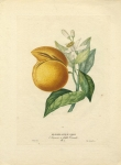 Oranger a Fruit Cornu.