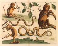 Three toed sloth. Tab.XXXIII (untitled).