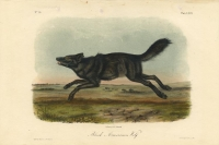 Black American Wolf.  Plate LXVII