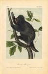 Canada Porcupine. Pl. 36.