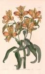 Alstrcemeria - aurantiaca, #1843.
