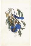 Florida Jay. Corvus Floridanius.  Plate 87.