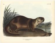 Canada Otter - Male. Plate CXXII